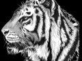 Bengal Tiger 01