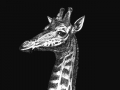 Giraffe 01