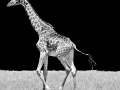 Giraffe_03